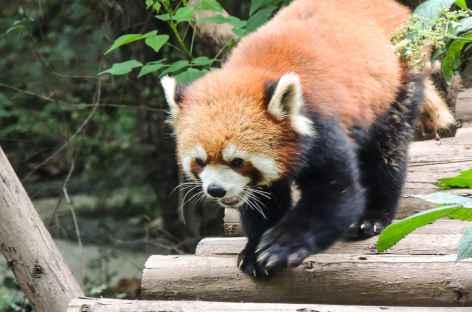 Panda Roux à Chengdu - Chine -
