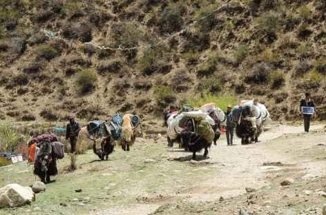 Arrivée des Yaks - Tibet -