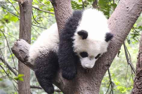 Sieste d'un jeune Panda à Chengdu - Chine -