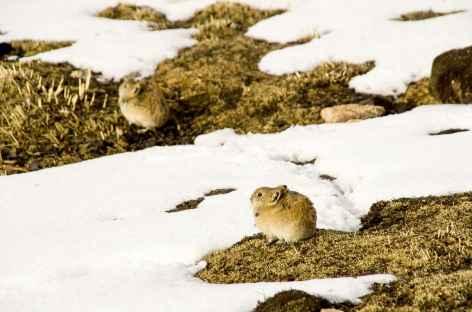 Gerbilles d'altitude - Tibet -
