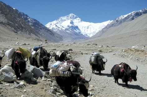 Yaks redescendant du camp de base de l'Everest - Tibet -