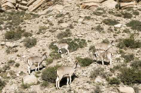 Les moutons bleus - Tibet -