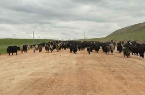 Troupeaux de yaks - Amdo -