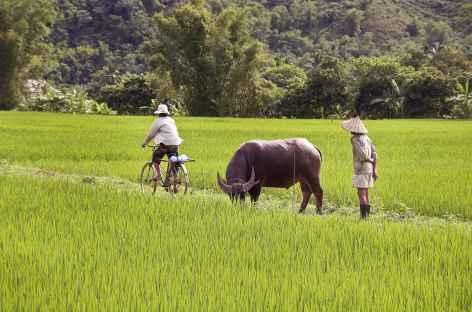 Rizières - Vietnam -