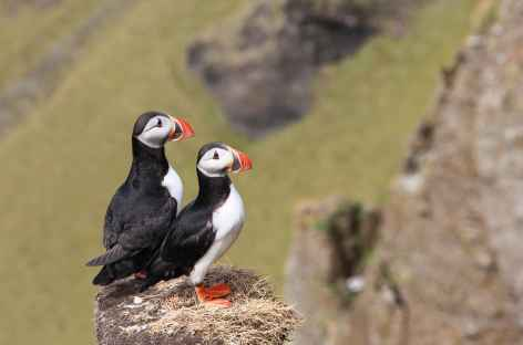 Macareux moine - Islande -