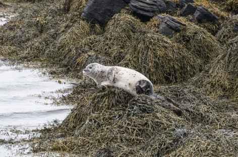 Jeune phoque - Islande -