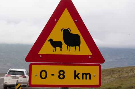 En Islande, les moutons sont libres -