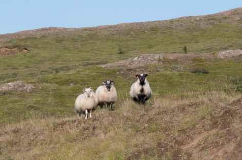 Moutons dans la campagne - Islande -