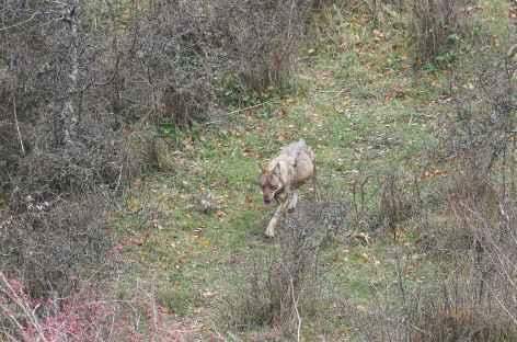 Loup, montagne des Abruzzes - Italie -