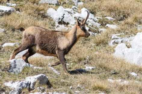 Eterlou ou jeune chamois, montagne des Abruzzes - Italie -