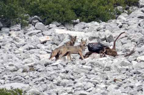 Loups sur une carcasse de cerf, montagne des Abruzzes - Italie -