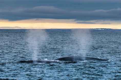 Baleines à bosses - Spitzberg -