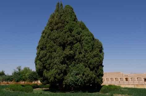 Cypres de 4500 ans - Iran -