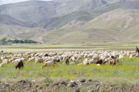 Troupeau de moutons - Iran -