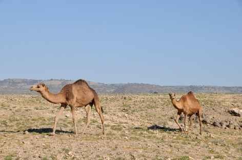Dromadaires du Dhofar - Oman -