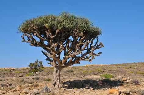 Dragonnier du Dhofar - Oman -