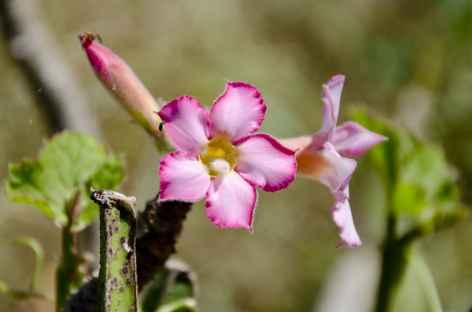 Fleur du Dhofar - Oman -