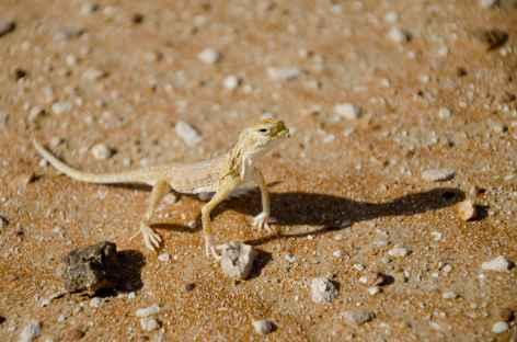 Lézard, désert du Rub Al Khali - Oman -