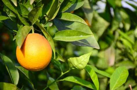 Orange de Çirali, Lycie - Turquie -