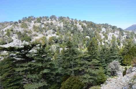 Cèdres du Liban sur les pentes du Mont Olympe (2366 m), Lycie - Turquie -