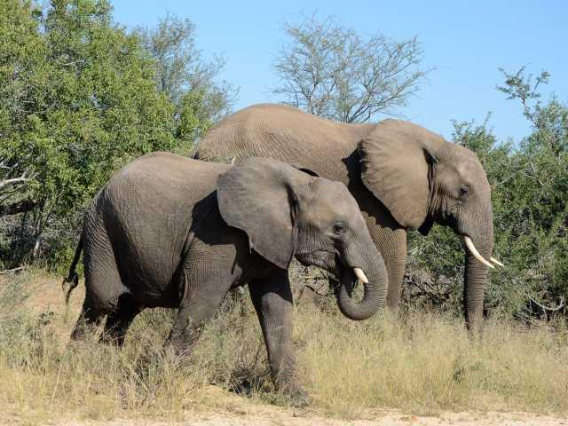 Eléphants dans le parc Kruger - Afrique du Sud, © Julien Erster - TIRAWA