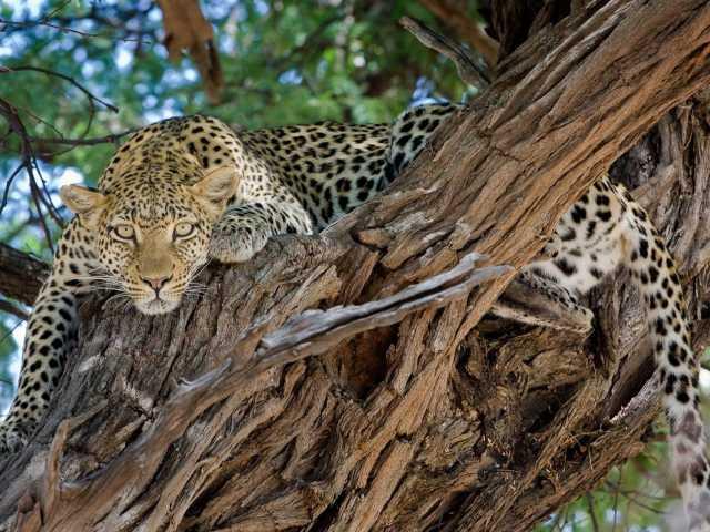 Léopard, réserve de Moremi - Botswana,
