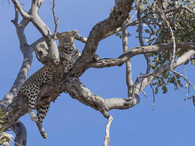 Léopard, réserve de Moremi - Botswana, © Christian Juni - TIRAWA