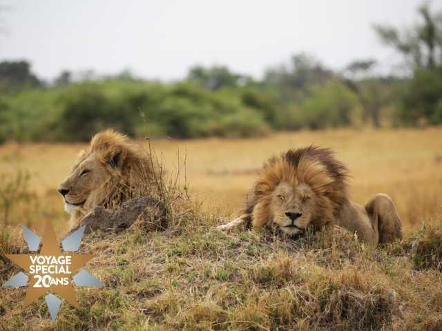 Lions en pleine sieste, réserve de Moremi - Botswana, © Julien Erster -TIRAWA