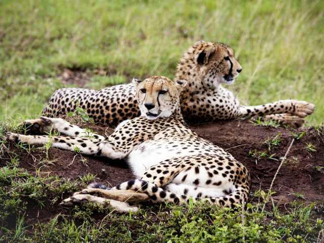 Guépards au Masai Mara - Kenya, © Julien Erster - TIRAWA