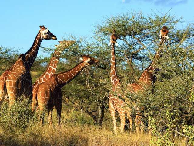 Premier safari...premières girafes !, © Julien Erster -TIRAWA