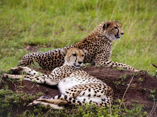 Guépards au Masai Mara, © Julien Erster -TIRAWA