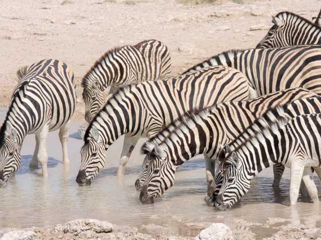 Zèbres à Etosha - Namibie, © Julien Erster - TIRAWA