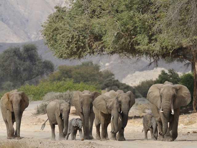 Eléphants du désert, Hoarusib - Namibie, © David Rey