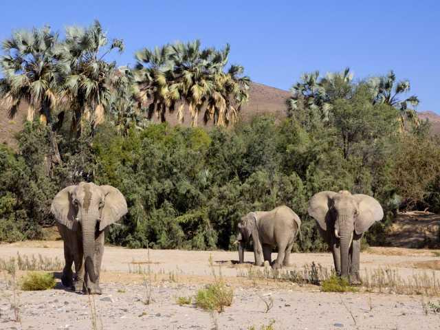 Eléphants du désert - Namibie, © Julien Erster - TIRAWA