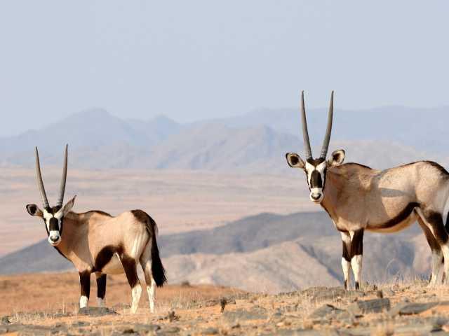 Oryx, Kaokoland - Namibie, © David Rey