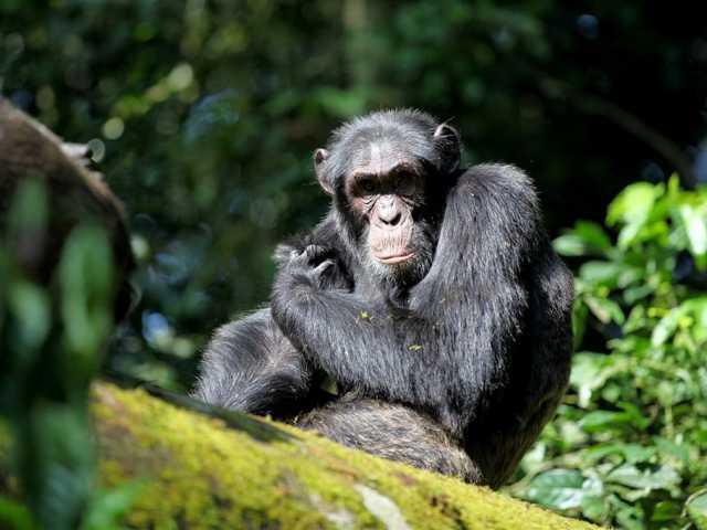 Observation des chimpanzés dans la forêt de Kibale - Ouganda, © Julien Erster - TIRAWA