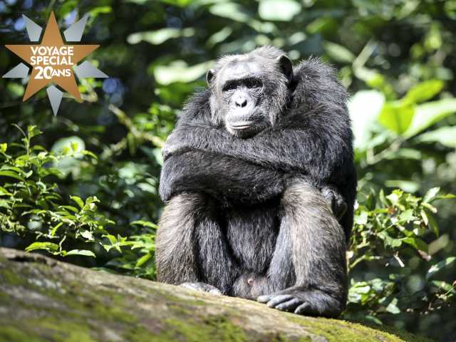Chimpazé dans la forêt de Kibale - Ouganda, © Julien Erster - TIRAWA