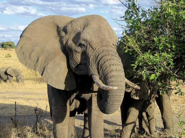 Eléphants dans le parc du Serengeti - Tanzanie, © Julien Freidel - TIRAWA