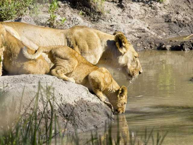 Lionne et son petit à Seronera, Serengeti - Tanzanie,