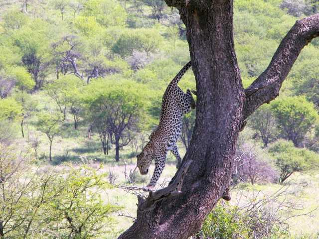 Léopard, Parc national du Tarangire - Tanzanie,