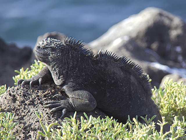 Archipel des Galapagos, iguane - Equateur, © Christian Juni - TIRAWA