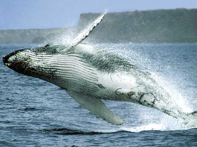 Baleine à bosse sur le chemin de l'île de la Plata - Equateur, © OT Equateur