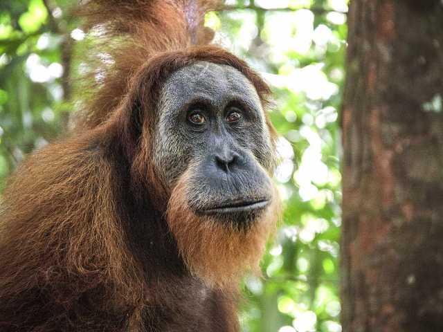 Orang-outan, Parc national du Mont Leuser, Sumatra - Indonésie, © Julien Erster - TIRAWA