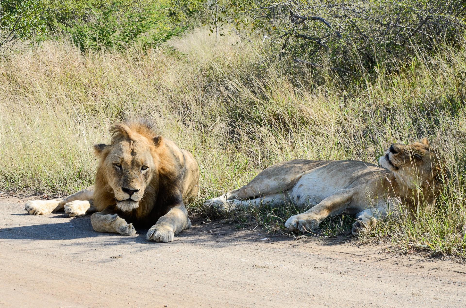 Lions, réserve d'Ebandla
