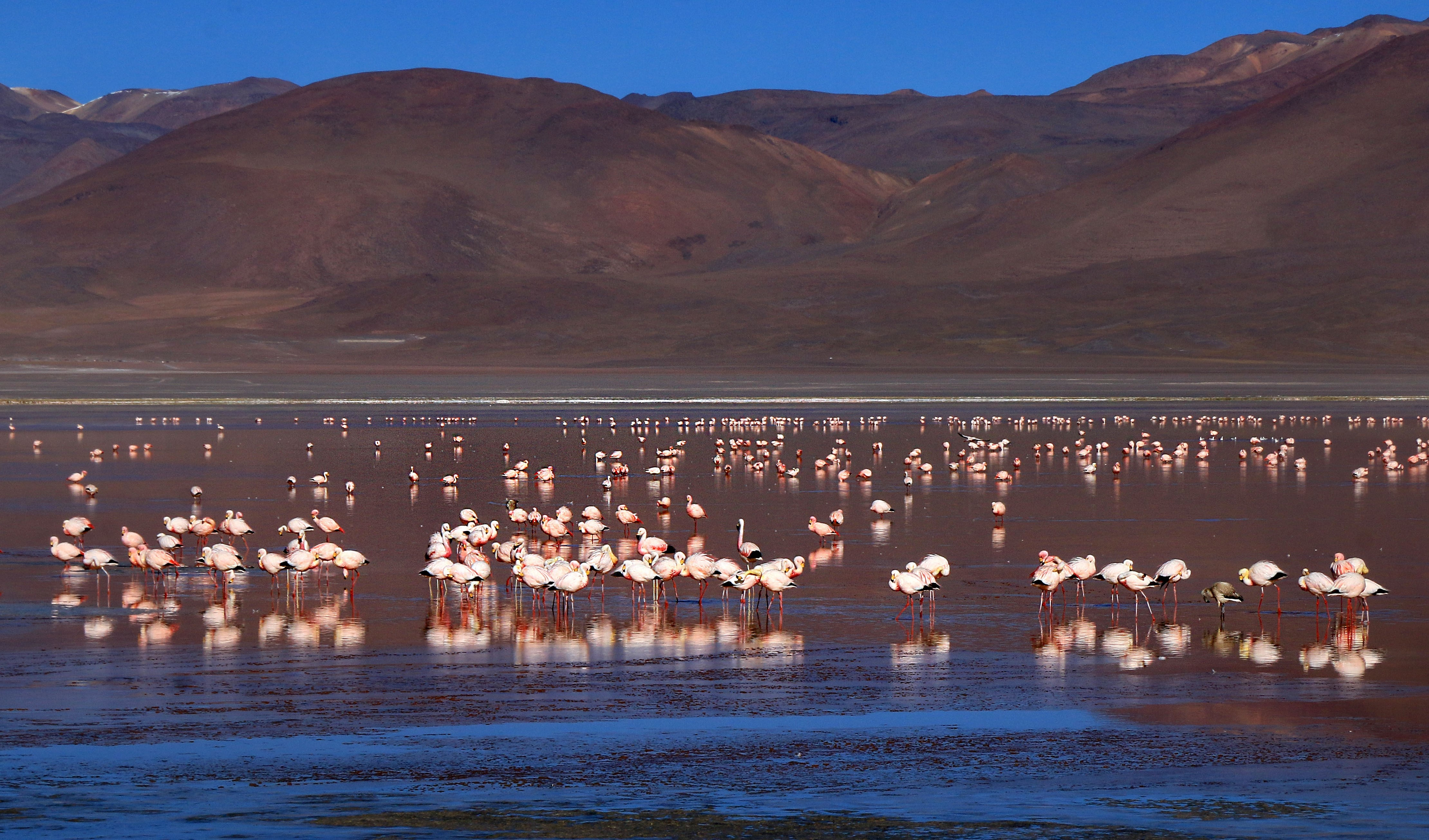 flamants rose laguna colorada bolivie