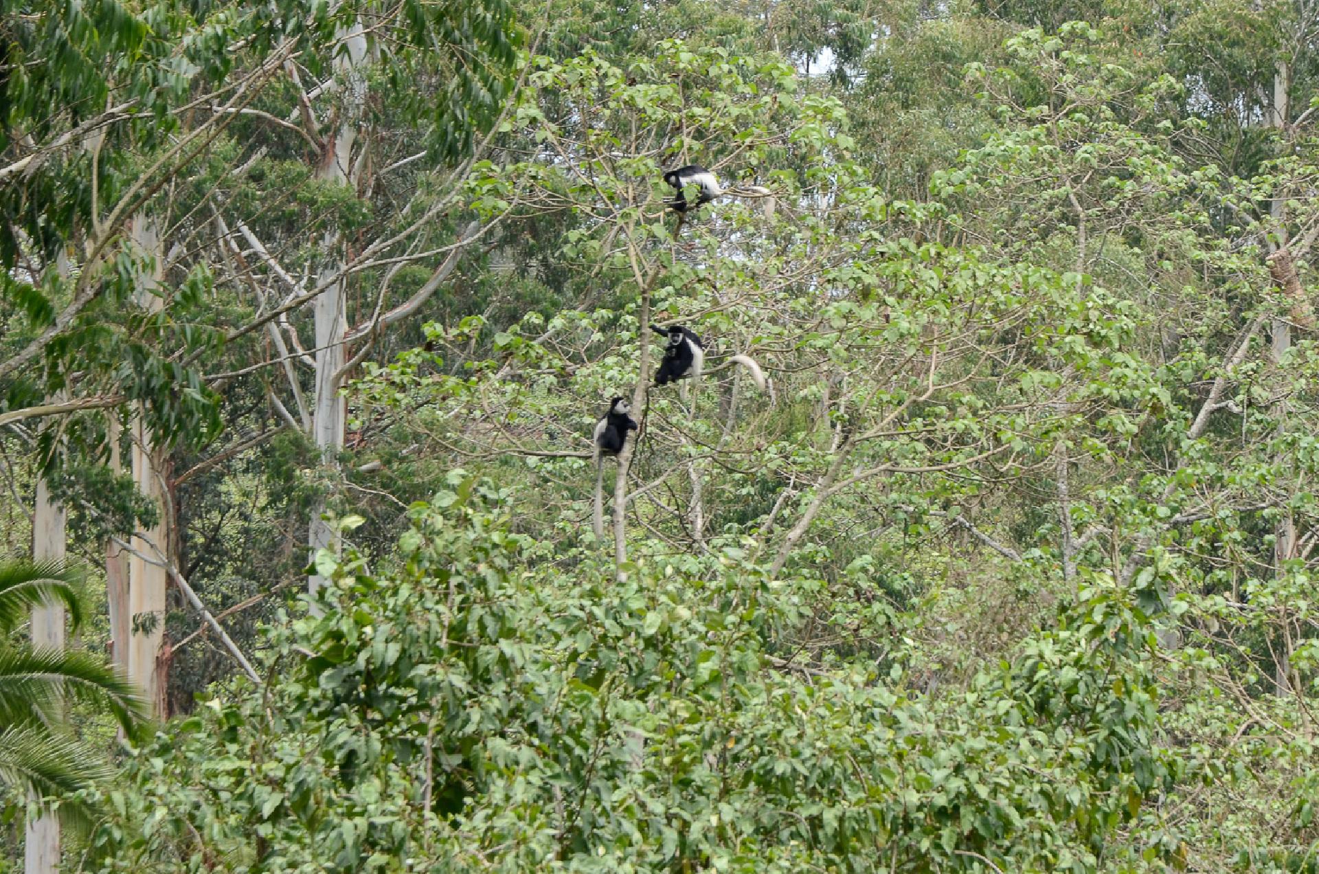 singes sud ethiopie