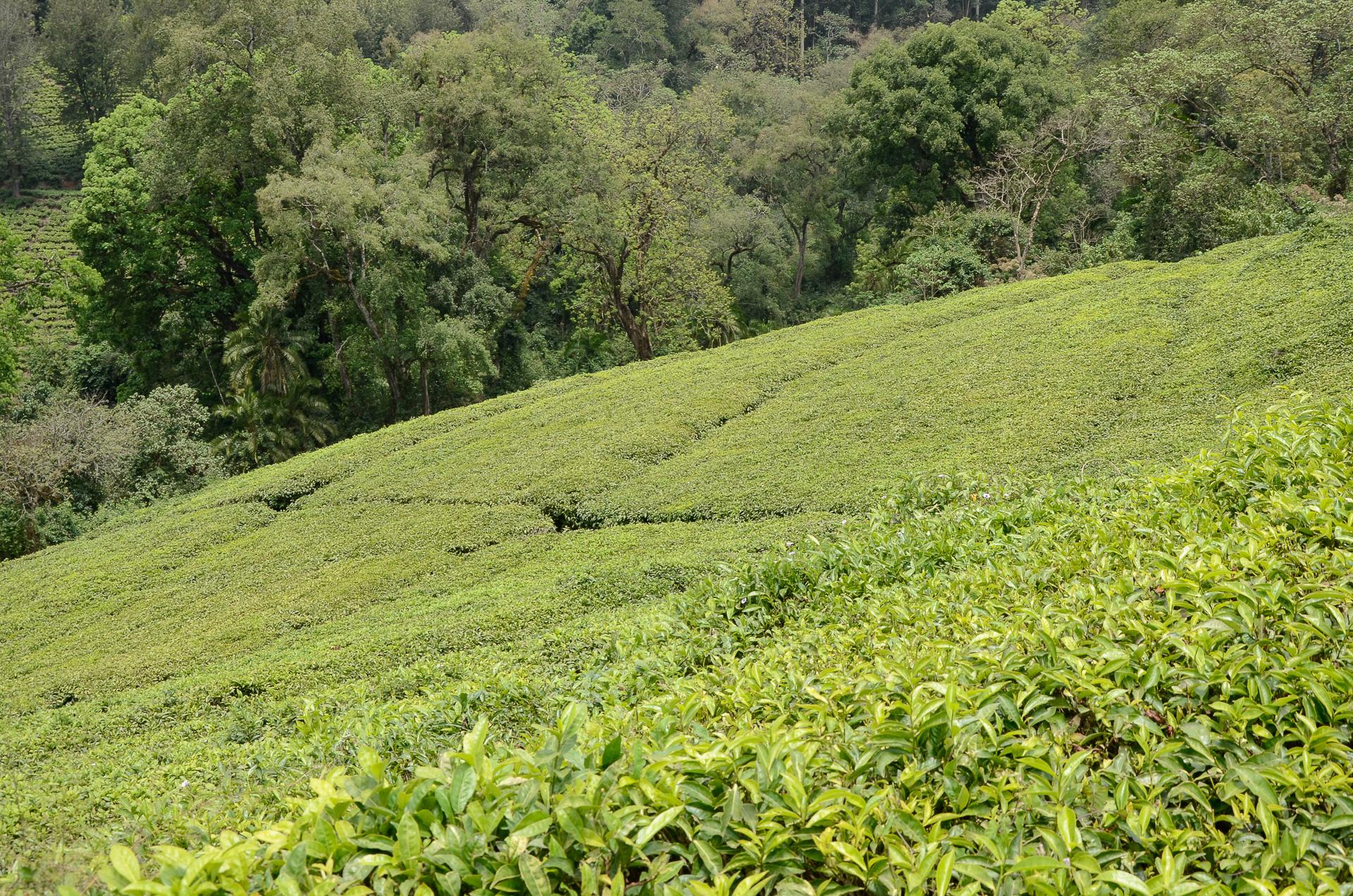 plantation de thé wush ethiopie
