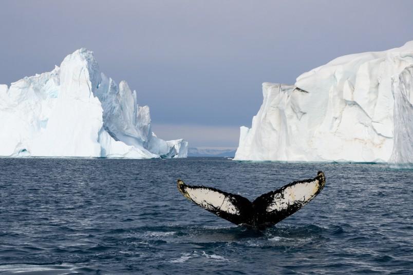Baleine a bosse groenland