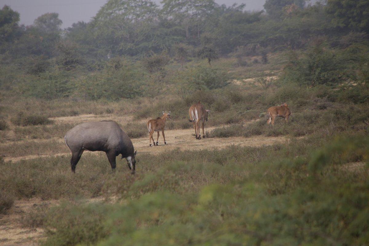 Antilopes et Nilgauts Rajasthan