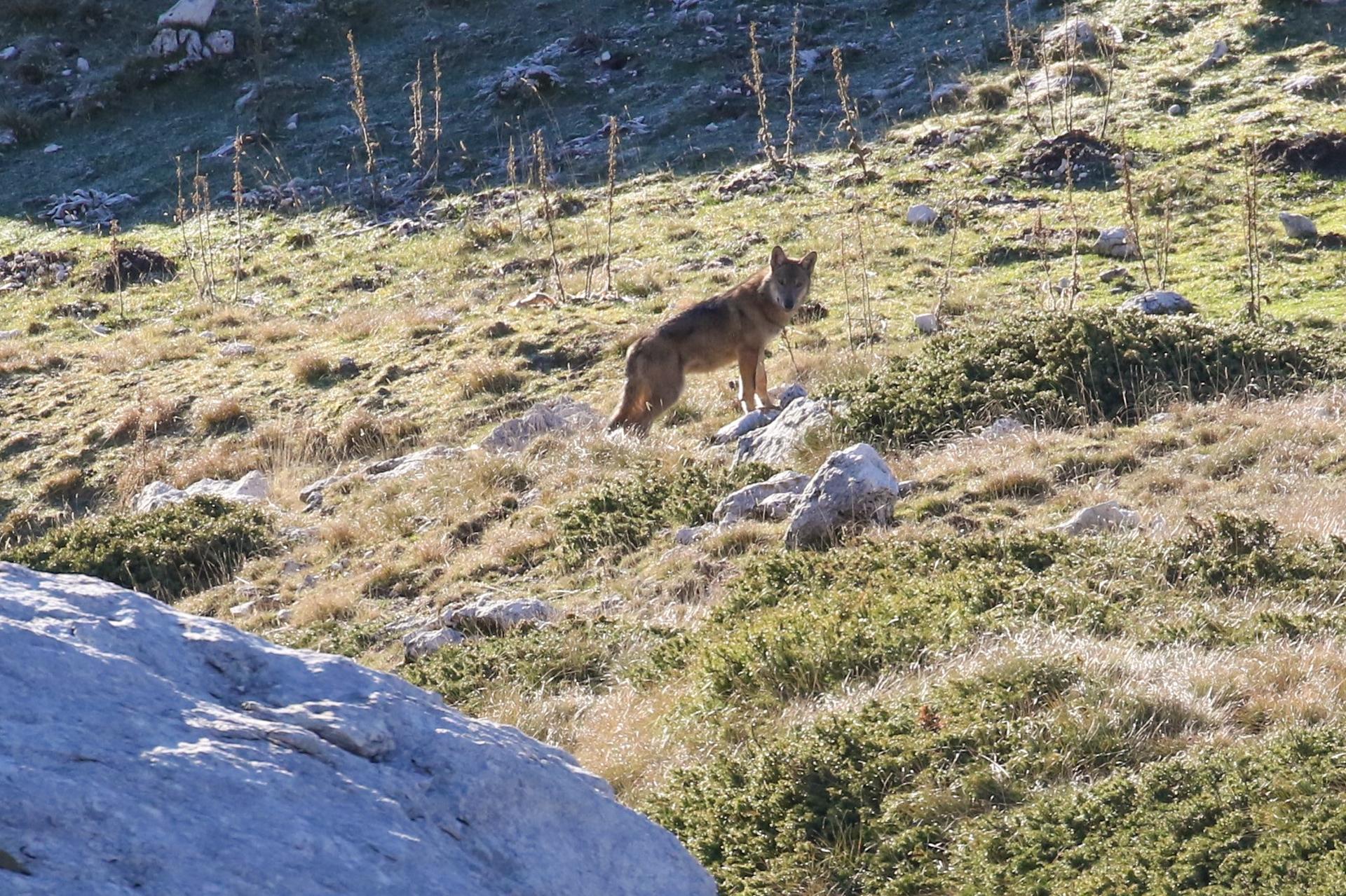 Jeune loup Abruzzes
